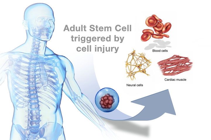 laminine stemcell process